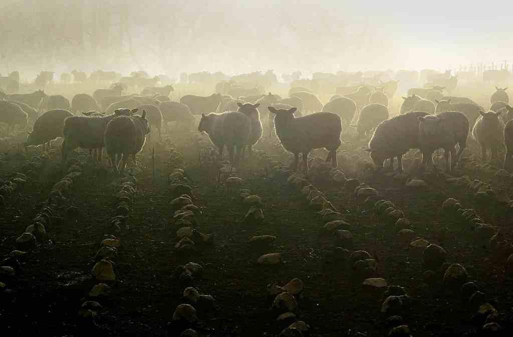 Sheep in a field of neeps